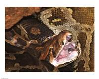 Burmese Python - various sizes