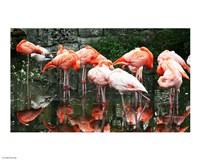 Caribbean Flamingo Phoenicopterus Ruber - various sizes, FulcrumGallery.com brand