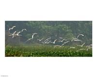 Cattle Egrets Fine Art Print