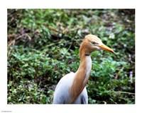 Cattle Egret in Summer - various sizes