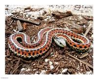 Coast Garter Snake Fine Art Print