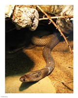 Cobra - various sizes