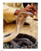 Cobra in Basket - various sizes