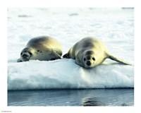 Crabeater Seals - various sizes