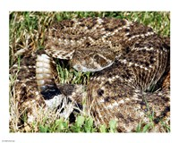 Crotalus Atrox - various sizes - $12.99