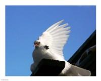 Dove - various sizes