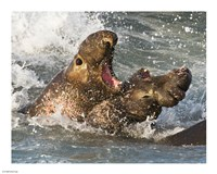 Elephant Seals Fighting - various sizes, FulcrumGallery.com brand