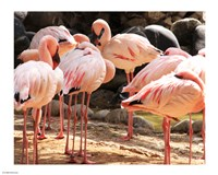 Flamingos Standing Together - various sizes