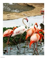 Flamingos Pink and White - various sizes
