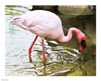 Flamingo In River