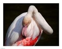 Flamingo Blijdorp - various sizes