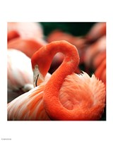 Flamingo National Zoo Fine Art Print