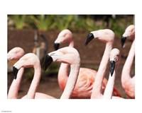 Flamingo Flock - various sizes