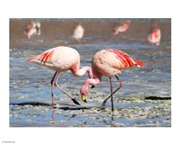 Flamingos Laguna Colorada - various sizes