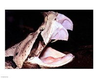 Gabon Viper Fangs - various sizes