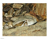 Gaboon Viper - various sizes