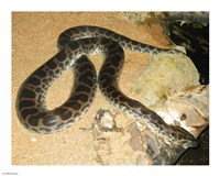 Green Anaconda - various sizes