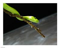 Green Mamba On Branch - various sizes, FulcrumGallery.com brand
