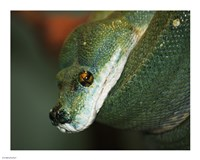 Green Tree Python - various sizes, FulcrumGallery.com brand
