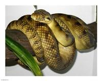 High-Yellow Scrub Python Morelia Amethistina - various sizes