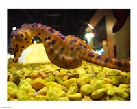 Hippocampus Abdominalis Aquarium Finisterrae - various sizes