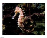 Hippocampus Histrix (Beige Thorny Seahose) - various sizes