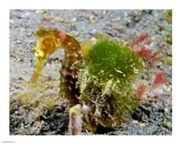 Hippocampus Histrix (Juvenile Thorny Seahorse) - various sizes