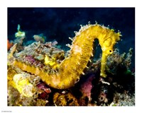 Yellow Hippocampus Hystrix (Spiny Seahorse) - various sizes, FulcrumGallery.com brand