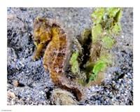 Hippocampus Kuda (Yellow Estuary Seahorse) - various sizes
