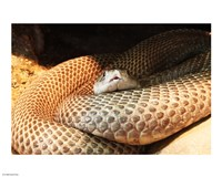 Indian Cobra Coiled Up - various sizes