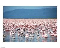 Large Number of Flamingos at Lake Nakuru - various sizes, FulcrumGallery.com brand