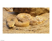 Leaf Nosed Viper - various sizes, FulcrumGallery.com brand