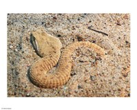 Leaf Nosed Viper In Sand I - various sizes, FulcrumGallery.com brand