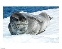 Leopard Seals In Antarctica - various sizes, FulcrumGallery.com brand