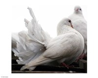 Little White Dove, Colchester Zoo Fine Art Print