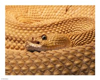Mexican West Coast Rattlesnake - various sizes - $12.99