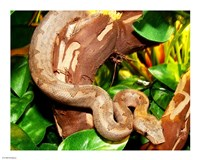 Pacific Boa - various sizes - $12.99