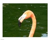 Phoenicopteridae Flamingo - various sizes