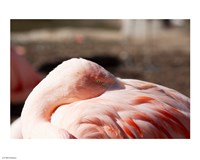 Pink Flamingo Closeup - various sizes
