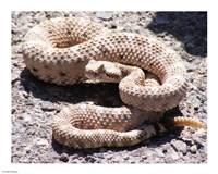 Rattlesnake - various sizes