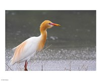 Red-Flush Cattle Egret - various sizes
