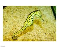 Sea Horse - various sizes