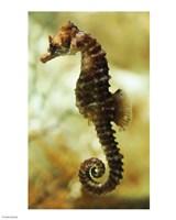 Tan Seahorse Fine Art Print