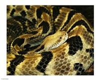 Timber Rattlesnake Fine Art Print