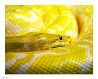 Yellow Python Fine Art Print