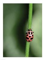 Ladybug - various sizes