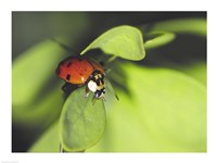 Close-up of a ladybug on a leaf - various sizes