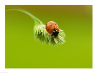 Close-up of a ladybug on a flower - various sizes