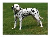 Dalmatian In Field Fine Art Print