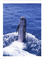 Bottle-nosed Dolphin Splashing and Swimming - various sizes